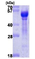 SDS-PAGE - Angiopoietin 1 protein (ab113163)