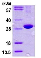 SDS-PAGE - DNAJB8 protein (His tag) (ab113587)