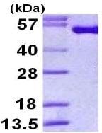 SDS-PAGE - Intein CBD protein (ab113591)