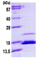 SDS-PAGE - FKBP1B protein (ab113596)