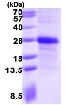 SDS-PAGE - Ephrin A1 protein (ab113867)