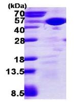 SDS-PAGE - SAPK4 protein (His tag) (ab113869)