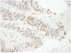 Immunohistochemistry (Formalin/PFA-fixed paraffin-embedded sections) - Anti-ZBTB7A antibody (ab114074)