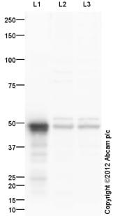 Western blot - Anti-SETD7 antibody (ab114145)