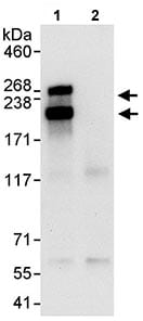 Immunoprecipitation - Anti-GW182 antibody (ab114857)