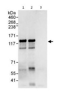 Immunoprecipitation - Anti-ZNF280D antibody (ab115174)