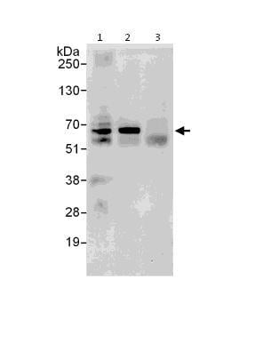 Immunoprecipitation - Anti-DDX56 antibody (ab115178)