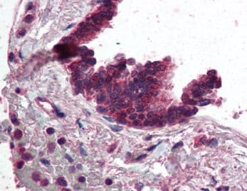 Immunohistochemistry (Formalin/PFA-fixed paraffin-embedded sections) - Anti-AP3 antibody (ab115234)