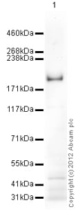 Western blot - Anti-SCRIBBLE antibody (ab115240)