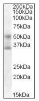 Western blot - Anti-FOXA1 antibody (ab115279)