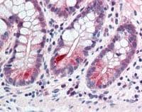 Immunohistochemistry (Formalin/PFA-fixed paraffin-embedded sections) - Anti-CCNL2 antibody (ab115547)