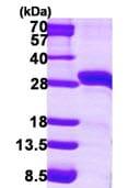 SDS-PAGE - StAR protein (ab115707)