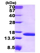 SDS-PAGE - TAX1BP3 protein (ab115716)