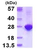 SDS-PAGE - MYL4 protein (ab115722)