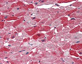 Immunohistochemistry (Formalin/PFA-fixed paraffin-embedded sections) - Anti-Nova1 antibody (ab115732)