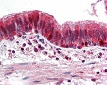 Immunohistochemistry (Formalin/PFA-fixed paraffin-embedded sections) - Anti-Thioredoxin / TRX antibody (ab115758)