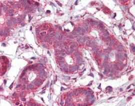Immunohistochemistry (Formalin/PFA-fixed paraffin-embedded sections) - Anti-Septin 2 antibody (ab115863)