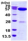 SDS-PAGE - APPBP1 protein (ab116199)