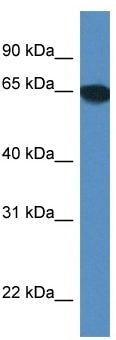 Western blot - Anti-SCARA3 antibody (ab116274)