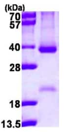 SDS-PAGE - Cyclin D2 protein (ab116405)