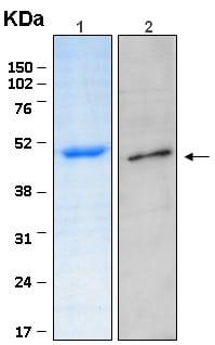 Western blot - SEPT5 protein (ab116420)