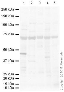 Western blot - Anti-Frizzled homolog 1 antibody (ab117305)