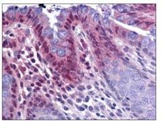 Immunohistochemistry (Formalin/PFA-fixed paraffin-embedded sections) - Anti-KPNA3 antibody (ab117578)