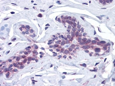 Immunohistochemistry (Formalin/PFA-fixed paraffin-embedded sections) - Anti-SCRN3 antibody (ab117709)