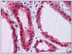 Immunohistochemistry (Formalin/PFA-fixed paraffin-embedded sections) - Anti-SCRN2 antibody (ab117731)