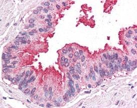 Immunohistochemistry (Formalin/PFA-fixed paraffin-embedded sections) - Anti-ARTS1 antibody (ab118432)