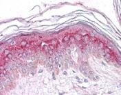Immunohistochemistry (Formalin/PFA-fixed paraffin-embedded sections) - Anti-GM2A antibody (ab118453)