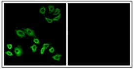 Immunocytochemistry/ Immunofluorescence - Anti-RHOH antibody (ab118507)