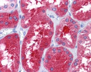 Immunohistochemistry (Formalin/PFA-fixed paraffin-embedded sections) - Anti-REEP3 antibody (ab118559)