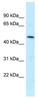 Western blot - Anti-SQRDL antibody (ab118772)