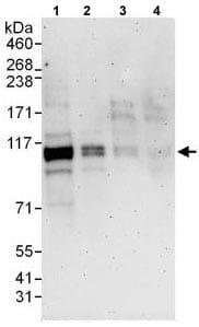 Western blot - Anti-BICD1 antibody (ab118802)