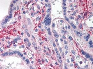 Immunohistochemistry (Formalin/PFA-fixed paraffin-embedded sections) - Anti-LAMP2B antibody (ab118959)
