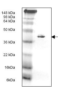 SDS-PAGE - Tropomyosin protein (His tag) (ab119162)