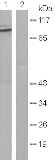Western blot - Anti-Dnmt3b antibody (ab119282)