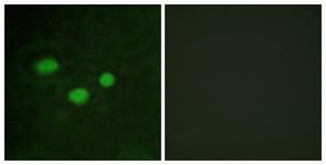 Immunocytochemistry/ Immunofluorescence - Anti-Dnmt3b antibody (ab119282)