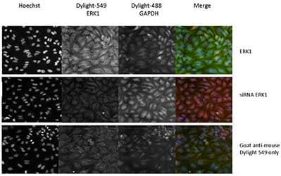 Immunocytochemistry/ Immunofluorescence - Anti-ERK1 antibody [12D11] (ab119357)