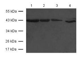 Western blot - Anti-CCR7 antibody (ab119371)