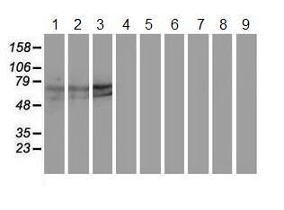 Western blot - Anti-Keap1 antibody [1B4] (ab119403)
