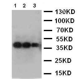 Western blot - Anti-IL12 antibody (ab119477)