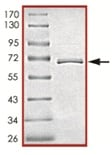 SDS-PAGE - JNK2 protein (ab119726)