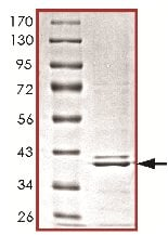 SDS-PAGE - CrkL protein (ab119733)