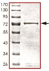 SDS-PAGE - Active mouse JNK3 full length protein (ab119734)
