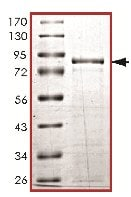 SDS-PAGE - LKB1 protein (ab119736)