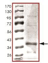 SDS-PAGE - GFP protein (ab119740)