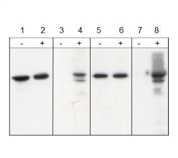Western blot - Anti-N Cadherin (phospho Y860) antibody (ab119752)