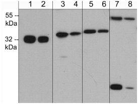 Western blot - Anti-Caspase-6 [M378] antibody (ab119760)
